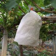 无纺布套袋对葡萄好吗